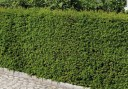 taxus_baccata_wurzelware_30-40_1